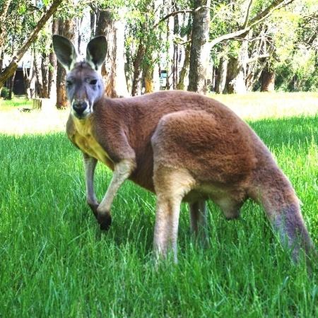 Kangaroo Adelaide Australia