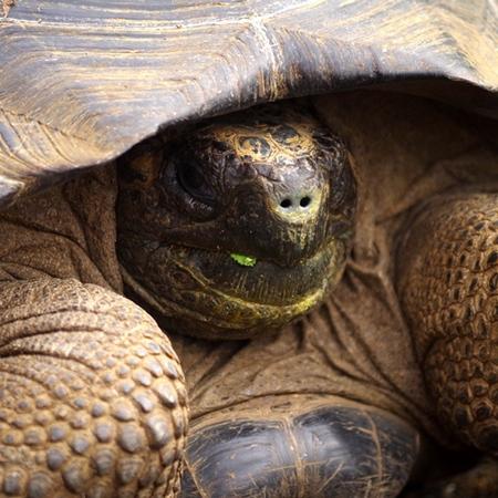 Galápagos Islands giant turtle