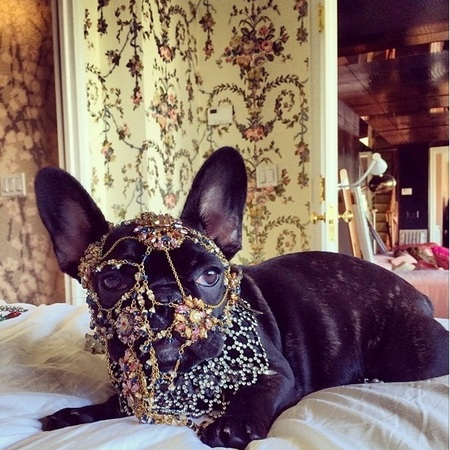 lady gaga's french bull dog with jewellery on head - instagram - peta - celeb news - celeb bag - handbag.com